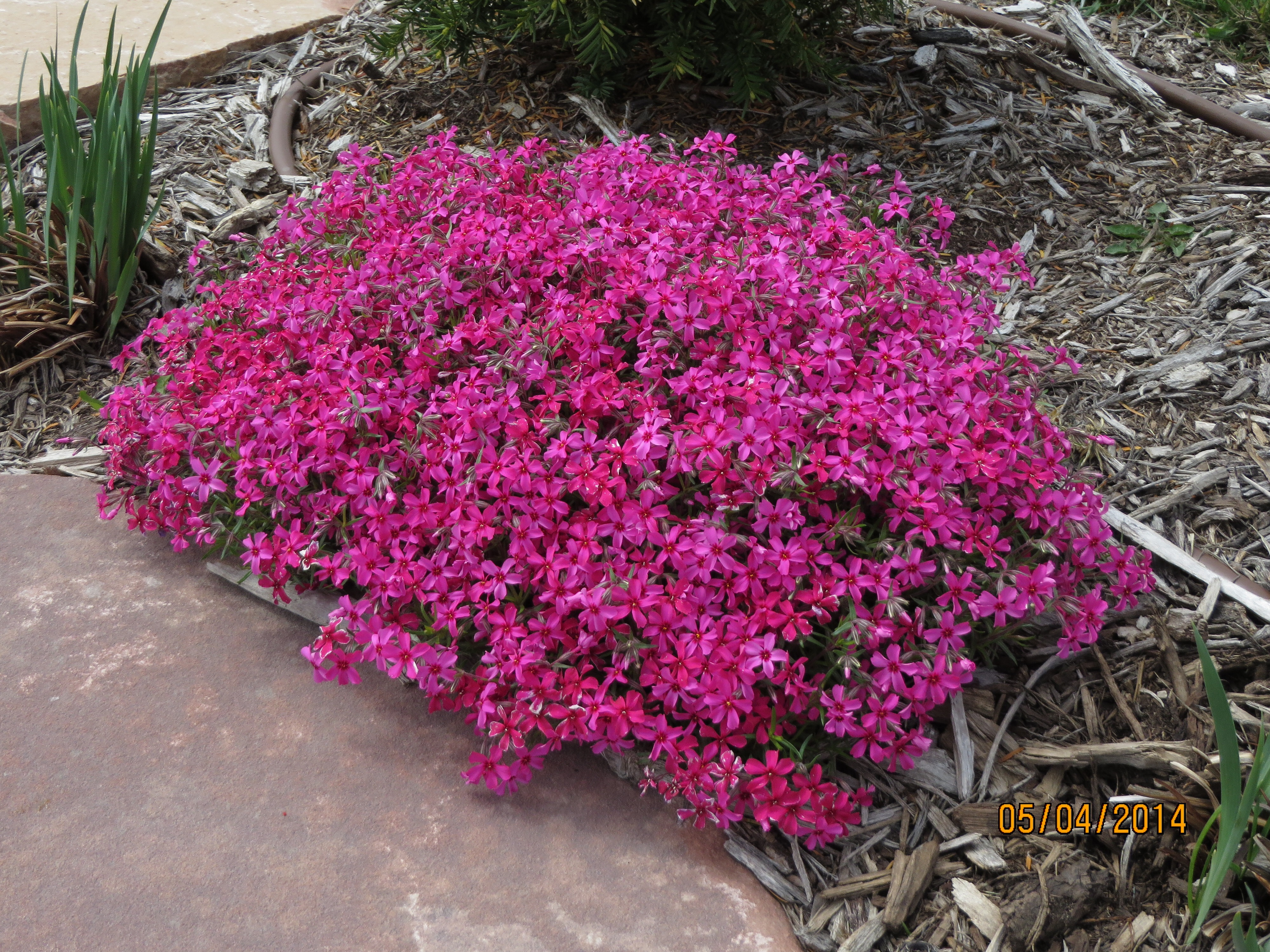 varieties flowers darker tall cullum eva garden eye h view pink deep with bloom jul zone power phlox s sept