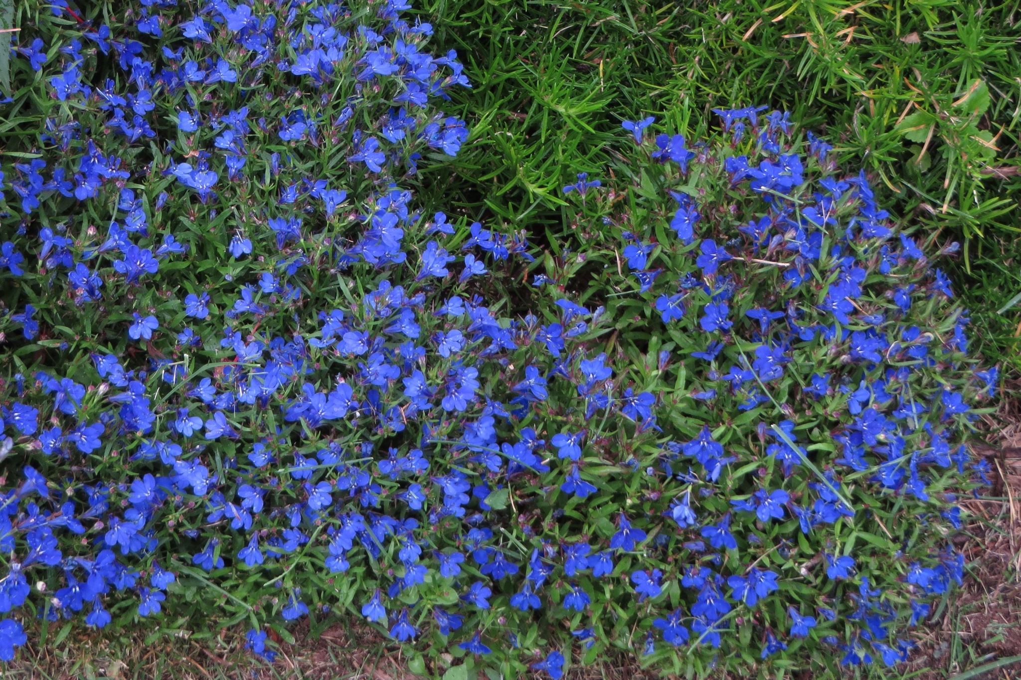 Other annuals jims garden world lobelia this a very nice small delicate plant with tiny flowers edging closely to true blue as well as a white and pink some varieties trail and others izmirmasajfo